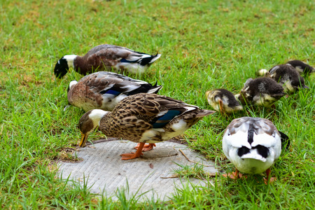 roaming: Ducks roaming and eating in a forest resort in the Galilee in the North of Israel