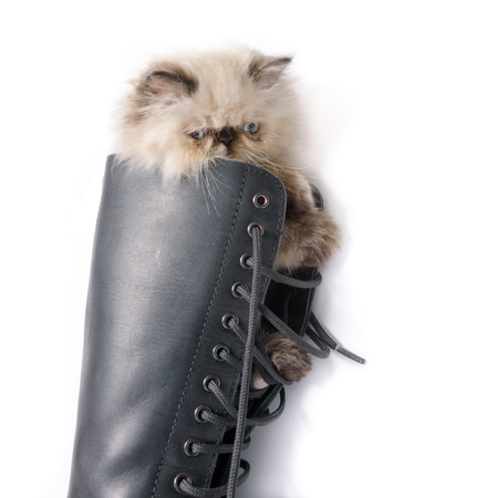 knee boots: Cat in Boots concept image - A two month old Blue Point Himalayan Persian kitten in a knee high black lace up combat boot