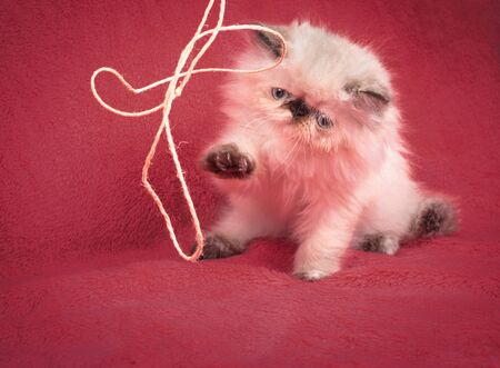 himalayan cat: A young, two month old Blue Point Himalayan Persian kitten playing with rope on a red comforter