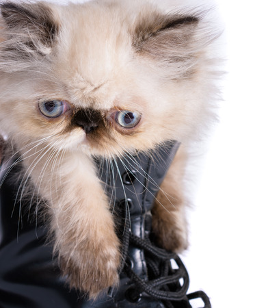 lace up: Cat in Boots concept image - A two month old Blue Point Himalayan Persian kitten in a knee high black lace up combat boot