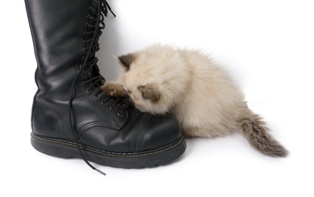 himalayan cat: Cat playing with a boot and its laces - A two month old Blue Point Himalayan Persian kitten in play Stock Photo