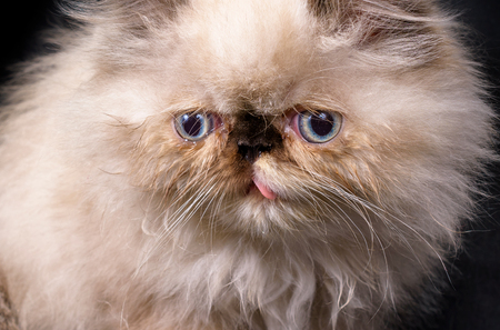 himalayan cat: Extreme close up of a young, two month old Blue Point Himalayan Persian kitten on a black background