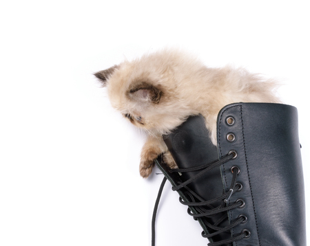 himalayan cat: Cat in Boots concept image - A two month old Blue Point Himalayan Persian kitten in a knee high black lace up combat boot