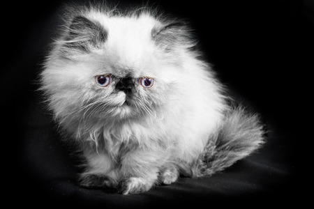himalayan cat: A young, two month old Blue Point Himalayan Persian kitten - in black and white with a hint of color in the eyes