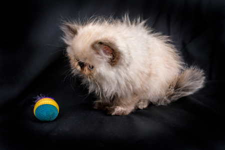 himalayan cat: A young, two month old Blue Point Himalayan Persian kitten playing with a colorful toy on a black background