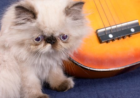 himalayan cat: A young, two month old Blue Point Himalayan Persian kitten with a miniature guitar on a blue background
