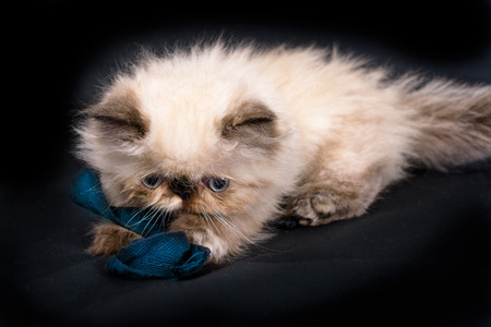 himalayan cat: A young, two month old Blue Point Himalayan Persian kitten playing with a blue ribbon on a black background Stock Photo