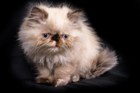 himalayan cat: A young, two month old Blue Point Himalayan Persian kitten on a black background