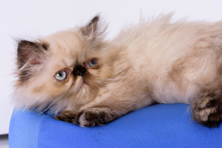 himalayan cat: A young, two month old Blue Point Himalayan Persian kitten on a blue pillow isolated on white