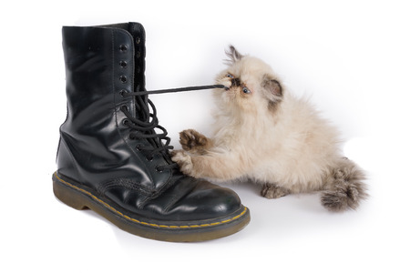 knee boots: Cat playing with a boot and its laces - A two month old Blue Point Himalayan Persian kitten in play Stock Photo