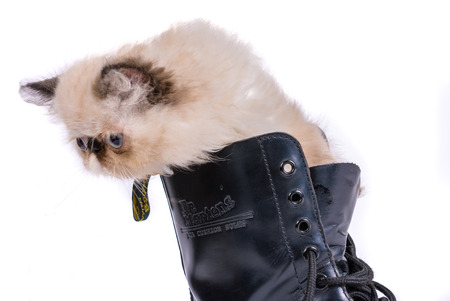 puss: TEL AVIV - NOV. 21, 2015: Puss in Boots concept image - A two month old Blue Point Himalayan Persian kitten in a black lace up Dr. Martens boot