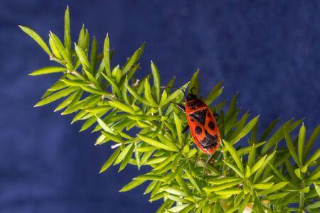 firebug: Firebug Pyrrhocoris apterus on an Asparagus Leaf