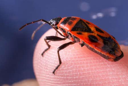 firebug: Firebug Pyrrhocoris apterus on an Asparagus Leaf on a little boys finger Stock Photo