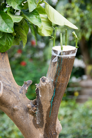 botanics: Grafting of eatable citrus trees (orange, pomelo, tangarine, and grapefruit) onto a wild orange stock root in the Tel Aviv area of Israel, producing strong, fast growing, high quality citrus fruit trees.