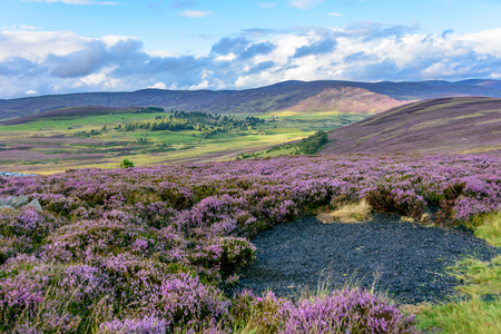 Beautiful native purple heather on the gently rolling hills of the Cairngorms national park in Northern Scotland 版權商用圖片