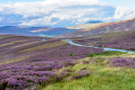 Beautiful native purple heather on the gently rolling hills of the Cairngorms national park in Northern Scotland