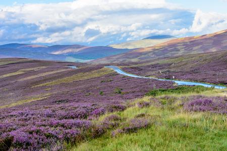 Schönes gebürtiges purpurrotes Heidekraut auf den leicht Rolling Hills des Cairngorms Nationalparks in Nord-Schottland