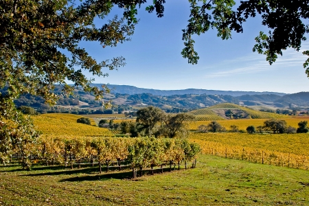 Golden Fields of Vineyards photo