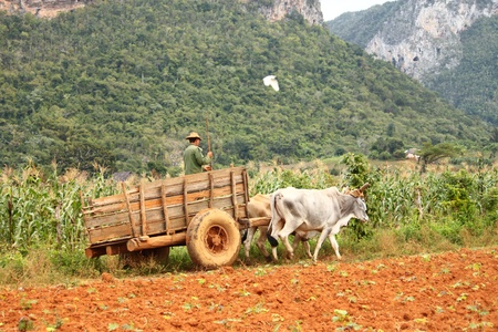 habana: Working on Vinales tobacco fields
