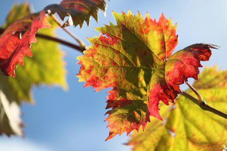 beautiful grapevine leaf