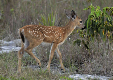 Key Deer Fawn