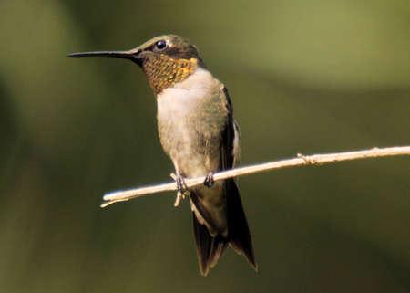 Hummingbird Perch Stock fotó - 24636857