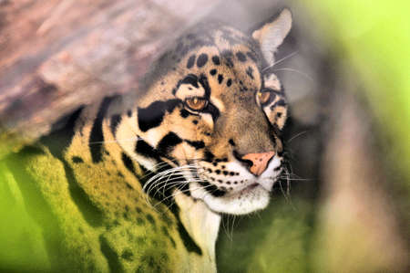 clouded leopard: The Clouded Leopard