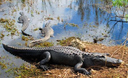 Alligator in de Florida Everglades  Stockfoto