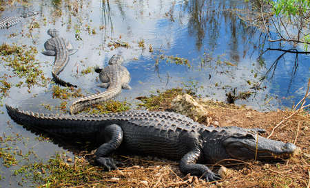 Alligator in the Florida Everglades Banco de Imagens