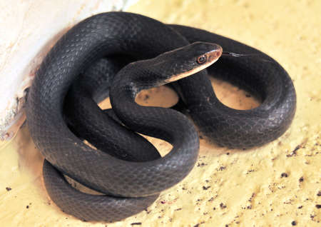 The Black Racer Snake in south Florida Zdjęcie Seryjne