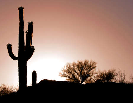 Cactus in the desert sunset of Arizona