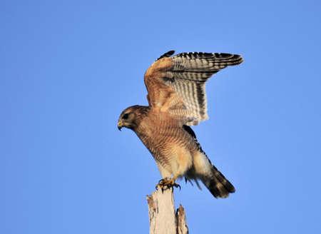 shouldered: Red Shouldered Hawk in the wetlands of south Florida