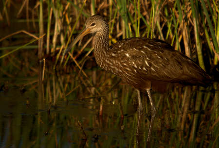 Limpkin at the Green Cay Wetlands in south Florida