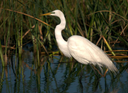 Great Egret at the Green Cay Wetlands in south Florida Stok Fotoğraf