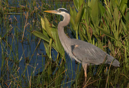 Great Blue Heron at the Green Cay Wetlands in south Florida