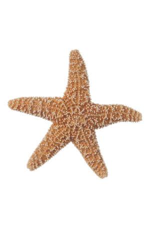 stella marina: Piccola Starfish reale su uno sfondo bianco Archivio Fotografico