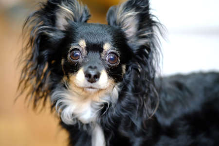 Chihuahua breed of dog. The dog looks wide-eyed