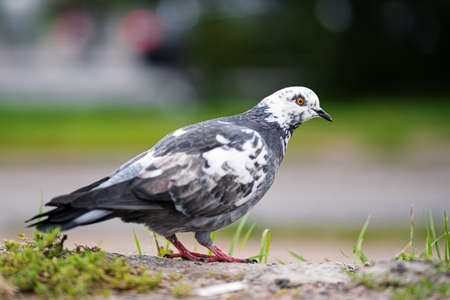 Pigeon in the city. An urban pigeon on the pavement.
