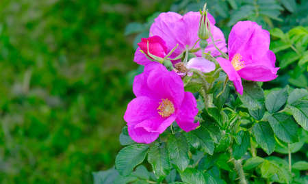 Wild rose flower. The wild rose Bush, fruits and blossoms
