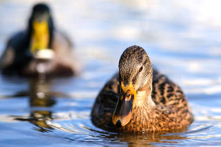 An amazing Mallard duck swims in a lake or river with blue water under a Sunny landscape. Birds and animals in the concept of wild nature Foto de archivo