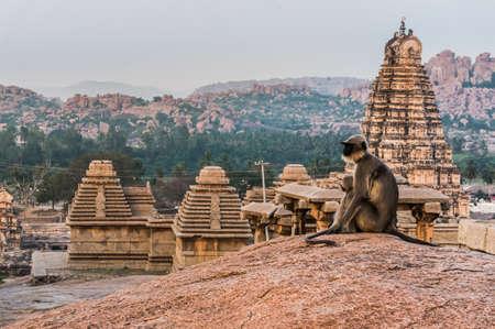 hanuman langur: Indian langurs sitting on the view point in Hampi, Karnataka, India