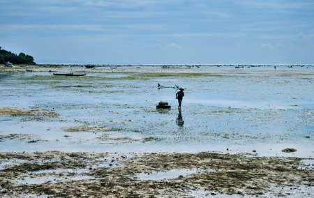 exportation: Collecting seaweed on the seaweed plantations near the beach on Nusa Lembongan, Indonesia
