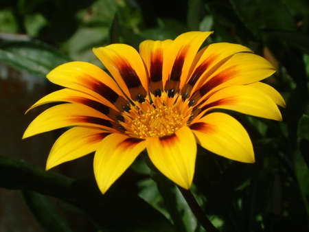 A brilliant gazania stands out against a dark background.