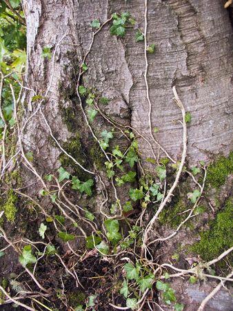 Ivy climbs an ancient tree trunk. Zdjęcie Seryjne - 423203