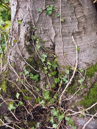 twining: Ivy climbs an ancient tree trunk. Stock Photo