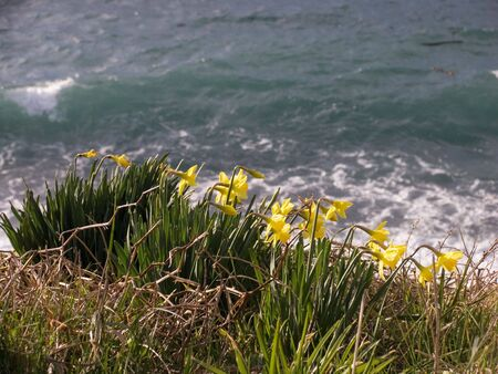 Daffodils over the ocean.
