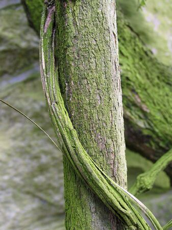 A tree trunk supports a clinging vine.