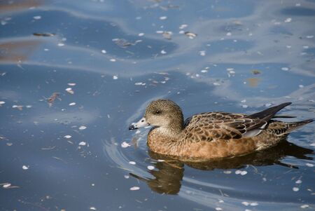 dabbling: A female American wigeon paddles in the morning light.