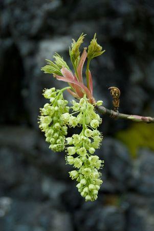 Big-leaf Maple in bloom. Reklamní fotografie