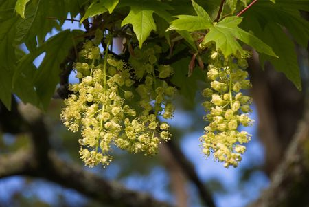 Flowers on a big-leaf maple (Acer macrophyllum).